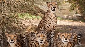 Cheetahs to return to India 70 years after being hunted to extinction