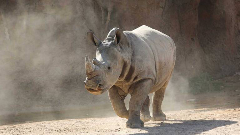 An image that illustrates this article Baby rhino - in pictures