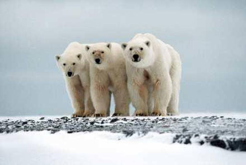 """A female polar bear (R) and her two two-year cubs stand at Cape Blossom on the Isle of Vrangel in this 2002 archive picture. Russia's polar bears are adapting their behaviour to overcome the """"catastrophic effects"""" of global warming, but new migration routes are pushing them dangerously close to humans, a leading researcher said.  Picture taken in 2002.   REUTERS/International Fund for Animal Wellfare/Nikita Ovsyanikov  (RUSSIA ANIMALS ENVIRONMENT) NO SALES. NO ARCHIVES. FOR EDITORIAL USE ONLY. NOT FOR SALE FOR MARKETING OR ADVERTISING CAMPAIGNS *** Local Caption ***  MOS11_CLIMATE-RUSSI_1209_11.JPG"""