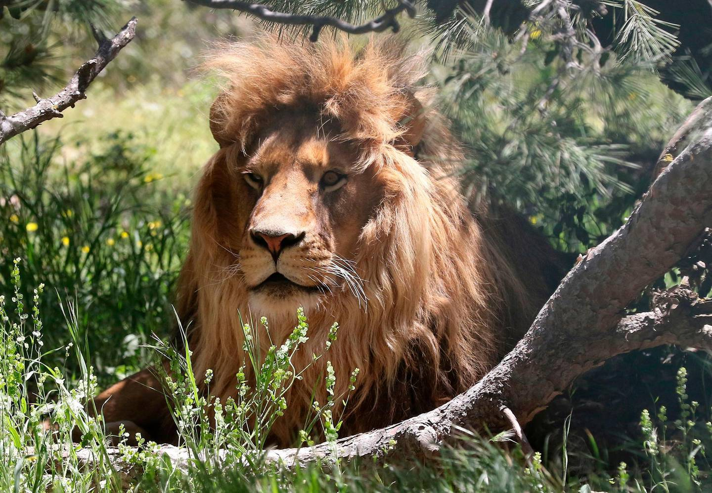 A lion rests in an enclosure on April 10, 2019, at the sanctuary in Jerash, some 50 kilometres north of the Jordanian capital. For more than a year after being moved to a Jordanian wildlife reserve from war-hit Syria, the bears Loz and Sukkar cowered when they heard a plane go by fearing bombardment. They are among dozens of animals that have been rescued from regional war zones, including the Israeli-blockaded Gaza Strip, and brought to the kingdom's Al Ma'wa For Nature and Wildlife. / AFP / afp / Khalil MAZRAAWI