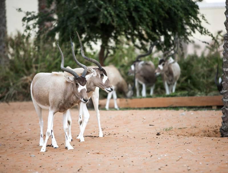 December 12, 2017.   Dubai Safari, Al Awir Road.  Media tour of the Dubai Safari.  Screw horned antelope. Victor Besa for The NationalNationalReporter:  Nick Webster