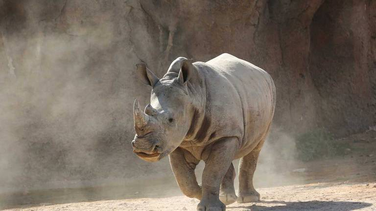 An image that illustrates this article Al Ain Zoo welcomes first southern white rhino calf