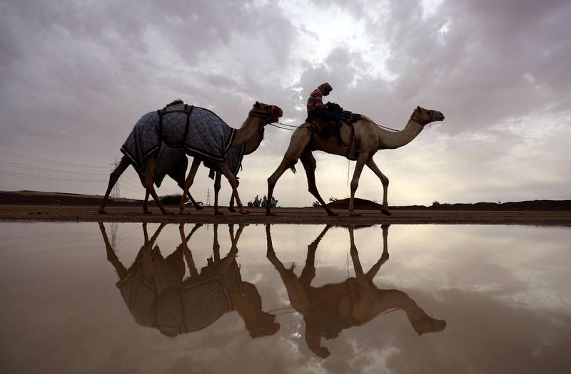 Racing camels are seen on their way to a training session following a raining day in Al-Ain near the United Arab Emirates-Oman border on March 24, 2017. (Photo by KARIM SAHIB / AFP)