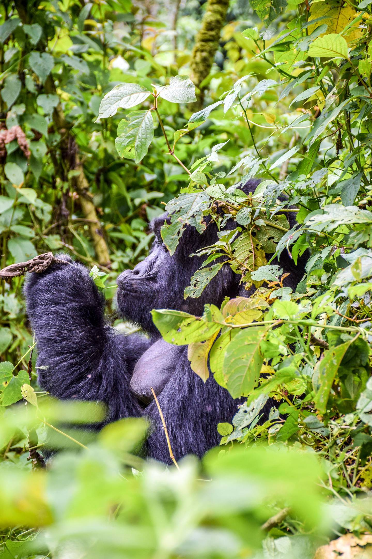 Photographed in Bwindi Impenetrable Forest, Uganda, this impressive gorilla is obviously enjoyinghis meal. Getty Image