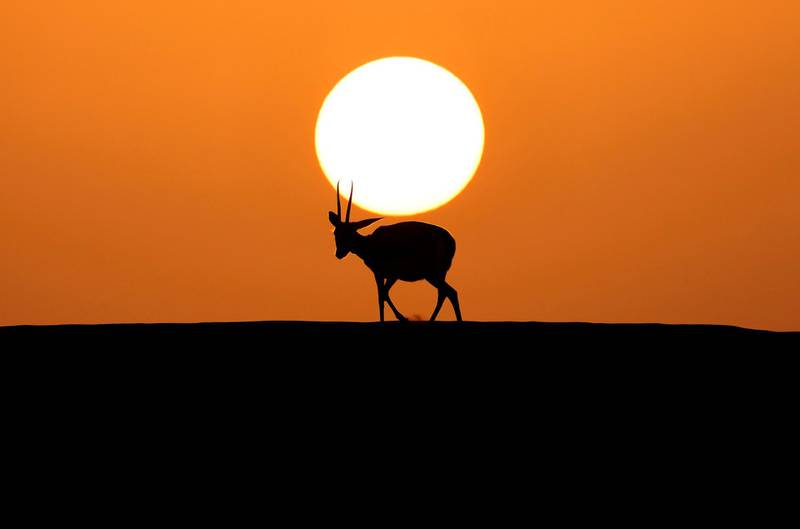 """TOPSHOT - Arabian sand gazelles, known as """"Reem"""", are pictured at the Telal Resort on the outskirts of the city of al-Ain at the far east of the Gulf emirate of Abu Dhabi on January 26, 2021. / AFP / Karim SAHIB"""