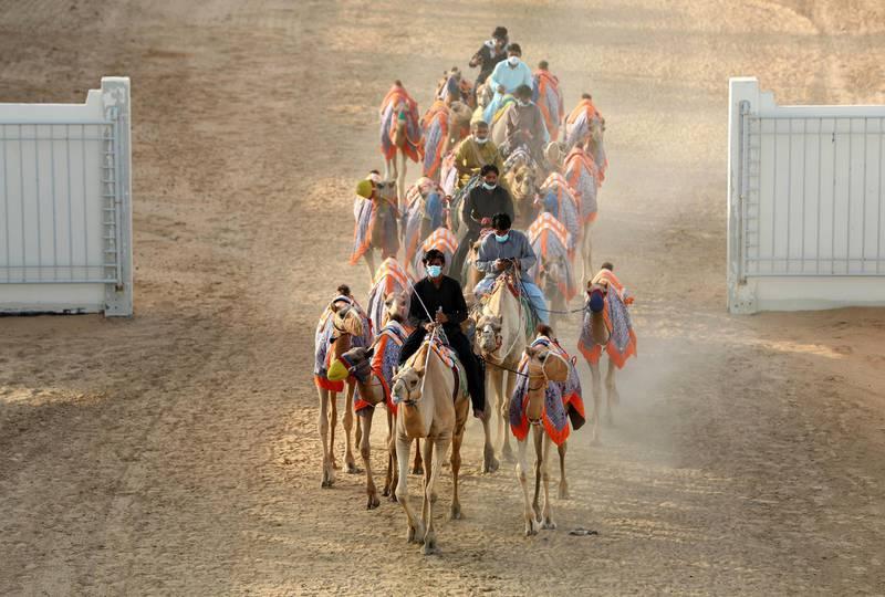 Dubai, United Arab Emirates - Reporter: Anna Zacharias. News. Handlers prepare the camels for racing at Al Marmoom camel race track. Tuesday, September 1st, 2020. Dubai. Chris Whiteoak / The National