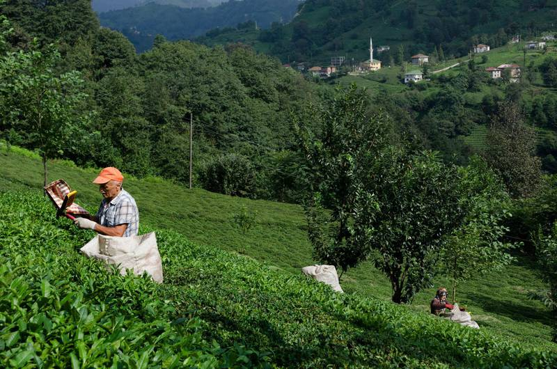 Ali picking tea in the fields of the Black Sea Mountains near Rize Turkey.  John Wreford for The National