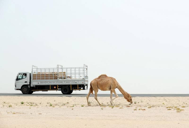 Dubai, United Arab Emirates - May 21, 2019: A camel grazes near a road on a hazy dusty day in Dubai. Tuesday the 21st of May 2019. Dubai. Chris Whiteoak / The National