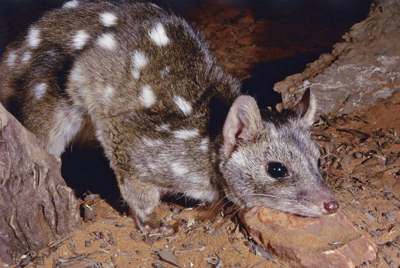 western quoll, endangered native cat. Getty Images