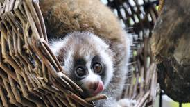 Baby Loris: Rescued slow loris couple in Dubai welcome new member of family