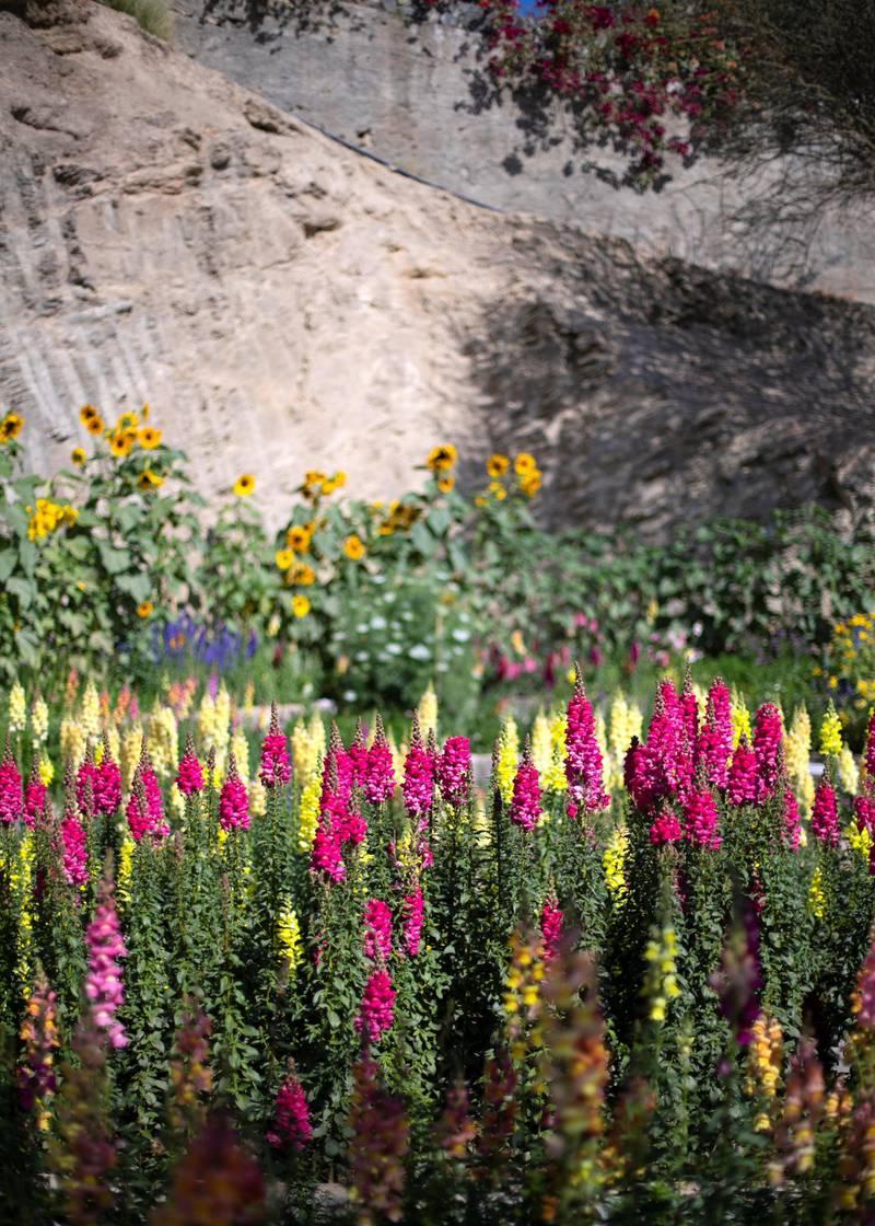 FUJAIRAH, UNITED ARAB EMIRATES.  16 FEBRUARY 2021. Gladioli flowers at Mohammed Al Mazroui's UAE Flower Farm in Asimah valley.Photo: Reem Mohammed / The NationalReporter: Alexandra Chavez