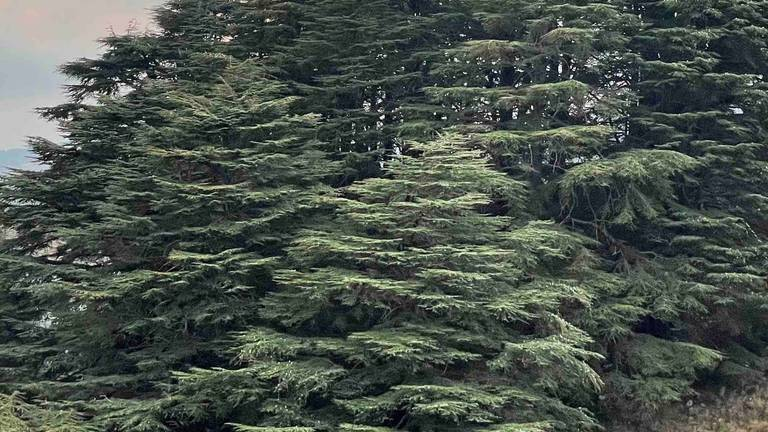 An image that illustrates this article Climate change is slowly killing the iconic Lebanese cedar tree