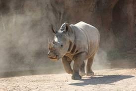 Al Ain Zoo welcomes first southern white rhino calf