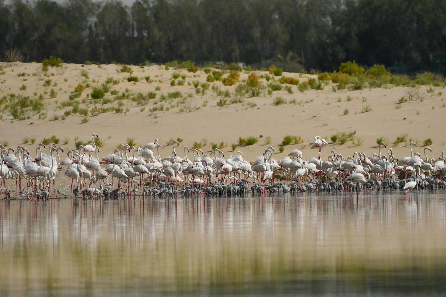 Flamingos are the flagship species of Al Wathba Reserve