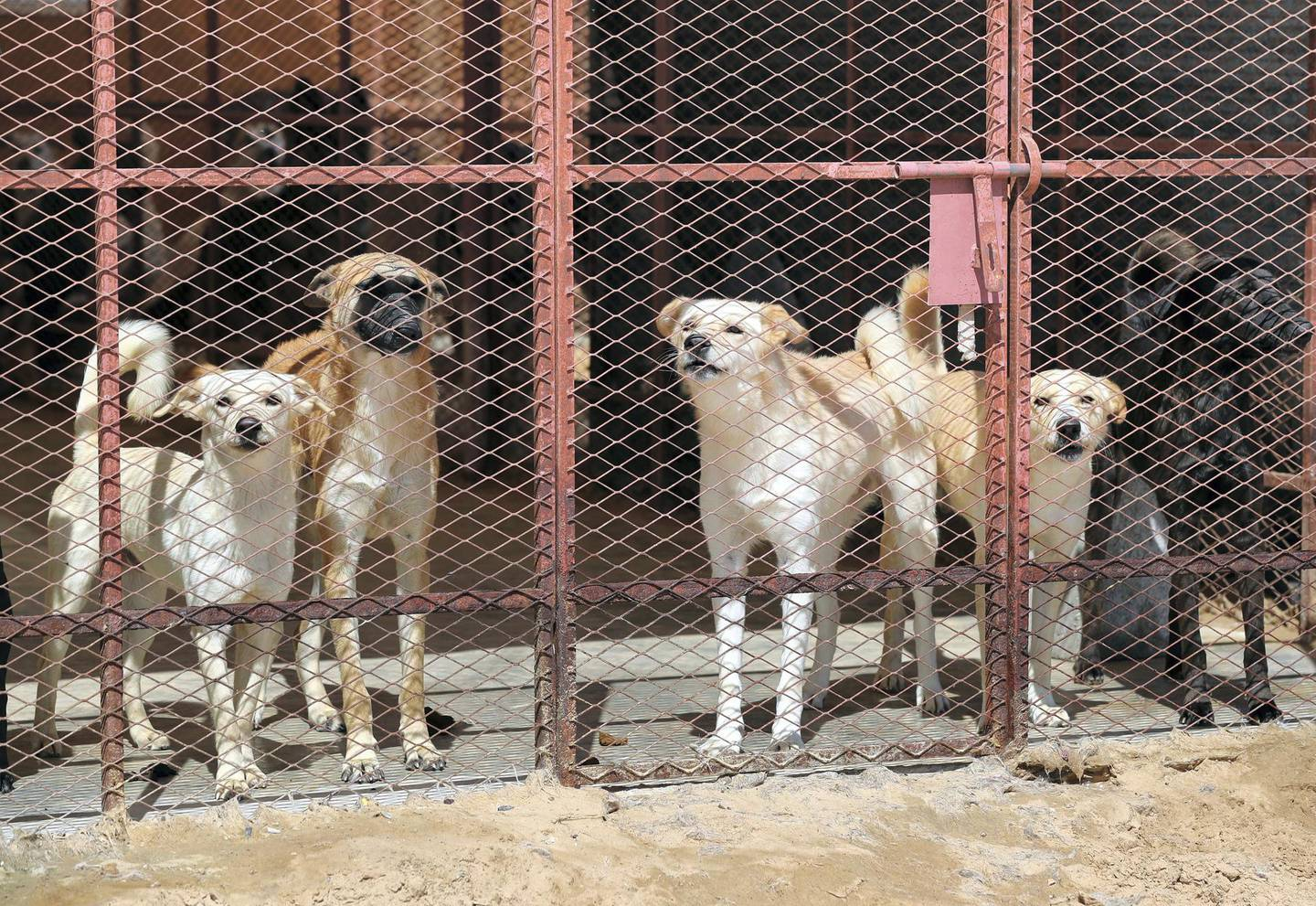 Umm Al Quwain, United Arab Emirates - Reporter: Nick Webster: Hundreds of stray dogs could be the unlikely winners in the widespread disruption enforced by coronavirus as more off-work teachers volunteer to foster homeless pets. Wednesday, March 11th, 2020. Umm Al Quwain. Chris Whiteoak / The National