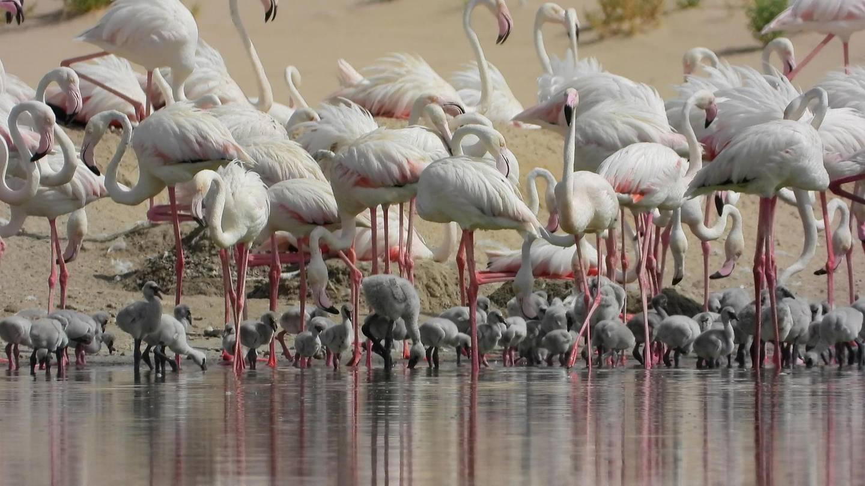 Record 876 flamingo chicks born during 2020 breeding season