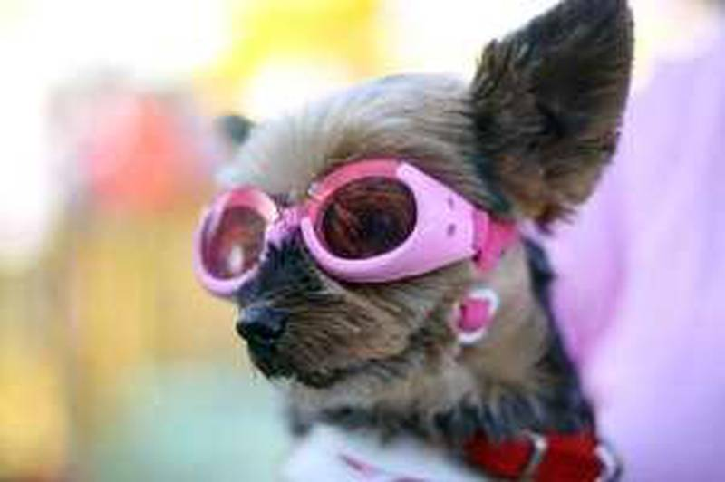 """United Arab Emirates- Dubai - January 29, 2010:  WEEKENDER: Caline (cq-al), a 13-year-old Yorkshire Terrier, dons goggles at the 22nd Pedigree & Whiskas Dubai Pet Show at Dubai Festival City in Dubai on Friday, January 29, 2010. """"She likes them. she's used to them. It's for the sun,"""" said Caline's owner Farah Makki (cq-al). Amy Leang/The National *** Local Caption ***  amy_012910_dogshow_12.jpg"""
