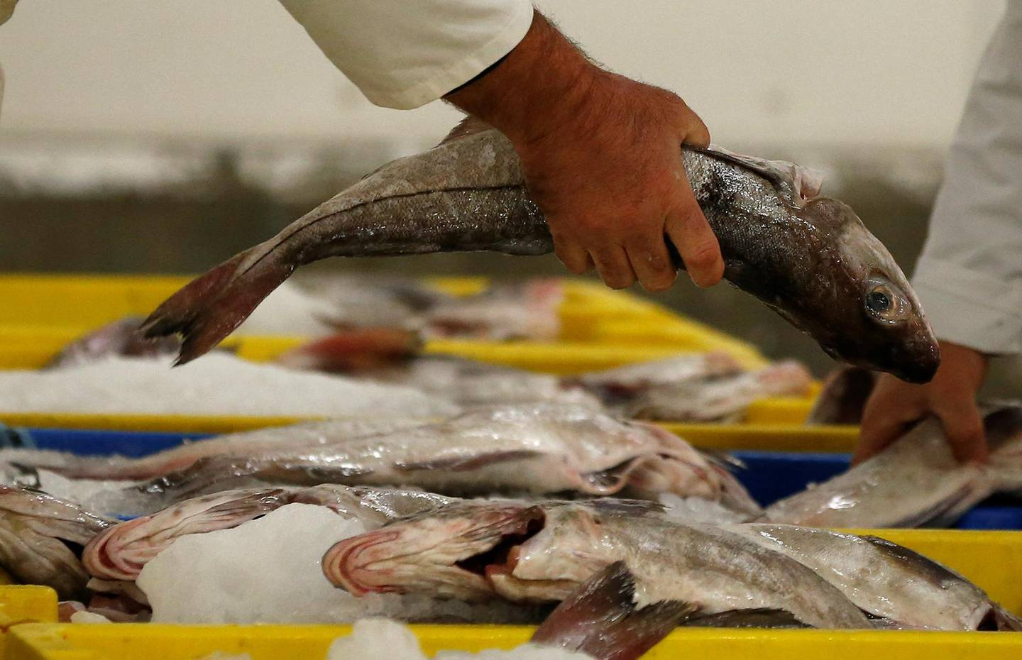 FILE PHOTO: A fish buyer examines a Haddock before the start of the daily auction at the fish market in Grimsby, Britain November 17, 2015.REUTERS/Phil Noble/File Photo