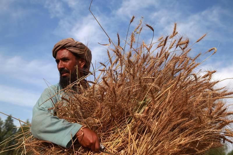 epa08410415 A farmer harvests wheat on the outskirts of Jalalabad, Afghanistan, 08 May 2020.  EPA/GHULAMULLAH HABIBI