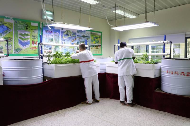 Inmates at Dubai Central Jail grow plants using hydroponic and aquaponic systems. Nilanjana Gupta/ The National