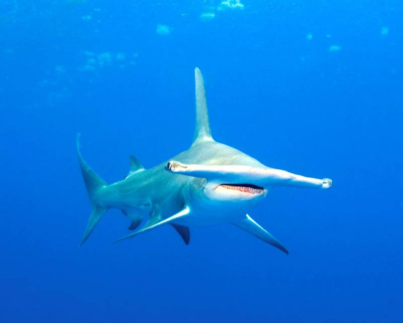 Hammerhead shark (Sphyrna mokarran) - IUCN status: Endangered - Widely distributed, but threatened by fishing for its fins and as accidental bycatch - Numbers have plummeted by four-fifths over the last quarter of a century. Image by © Norbert Wu/Science Faction/Corbis
