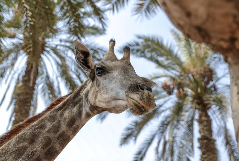 Abu Dhabi, United Arab Emirates, August 4, 2019.  Breakfast with giraffes at the Emirates Park Zoo. —  Amy the Giraffe. Victor Besa/The NationalSection:  NAReporter:  Sophie Prideaux