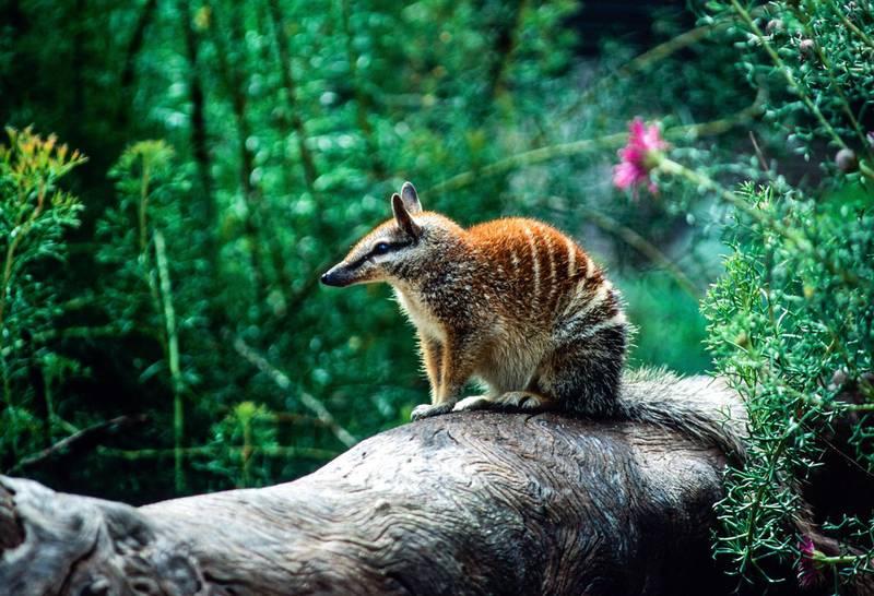 numbat in Perth, Australia. Getty Images