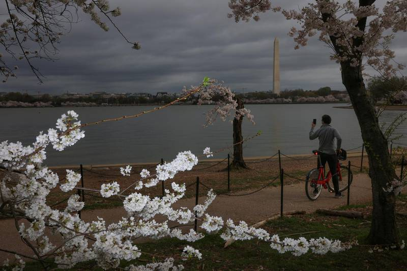 A visitor takes a cell phone photo of a distinguished cherry tree at the Tidal Basin near the National Mall in Washington, U.S., March 31, 2021. REUTERS/Tom Brenner