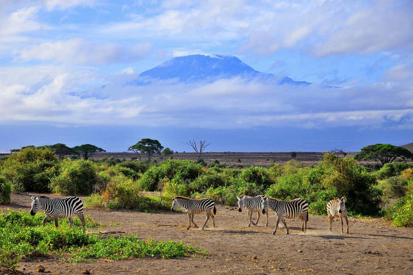 Zebras in front the Mount Kilimanjaro on a beautiful morning, Tanzania, Africa