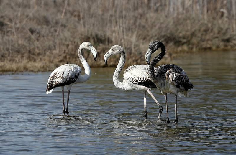 ABU DHABI , UNITED ARAB EMIRATES , NOV 23   – 2017 :- Baby flamingos at the Al Wathba Wetlands in Abu Dhabi. (Pawan Singh / The National) Story by Melinda Healy