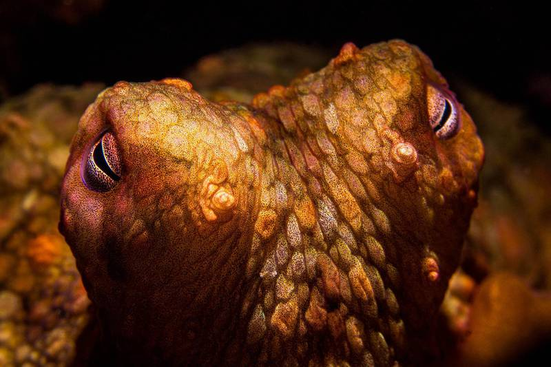 The eyes of a two-spot octopus, lit with a snoot, on the reef at Anacapa island. Getty Images
