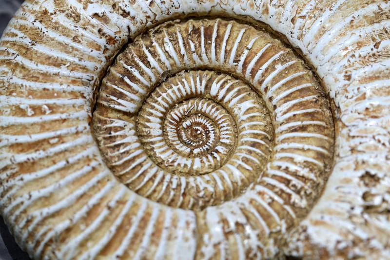 Sharjah, United Arab Emirates - July 10, 2019: Weekend's postcard section. A fossil ammonite, 66 million years old at the Mleiha Archaeological Centre. Wednesday the 10th of July 2019. Maleha, Sharjah. Chris Whiteoak / The National