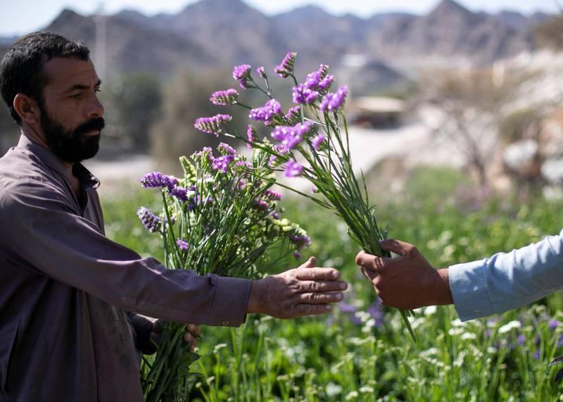 FUJAIRAH, UNITED ARAB EMIRATES.  16 FEBRUARY 2021. Abdulrahman & Munir pick statice flowers at Mohammed Al Mazroui's UAE Flower Farm in Asimah.Photo: Reem Mohammed / The NationalReporter: Alexandra Chavez