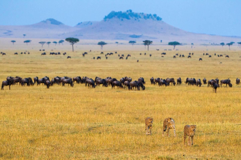 Cheetah (Acinonyx Jubatus) hunting on plains of Serengeti, wildebeests (Connochaetes Taurinus) in background, Serengeti National Park, Tanzania. Getty Images