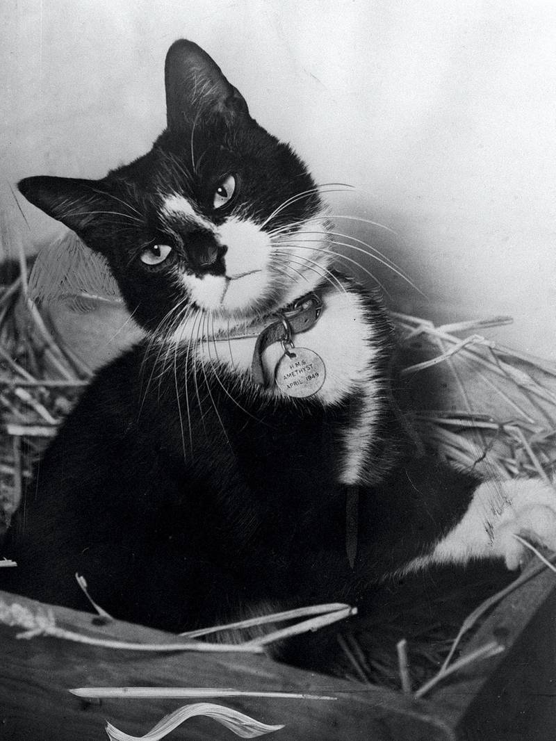 """While the men of the """"Yangtse Incident"""" have been receiving a heros' welcome home, Simon, the ships cat of HMS Amethyst and winner of the Dickin Medal - the animals Victoria Cross - has been resting at the Hackbridge Quarantine Kennels in Surrey.  * Simon recieved the award for catching rats and protecting food supplies during the time the ship was trapped by the Chinese. THE PLUCKY PUSS WAS THE ONLY ONE OF HIS SPECIES TO RECEIVE THE DICKIN MEDAL- THE ANIMALS VC.   (Photo by PA Images via Getty Images)"""