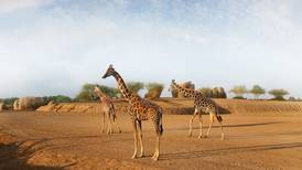 Baby giraffes reared at Al Ain Zoo to be rehomed in safari park