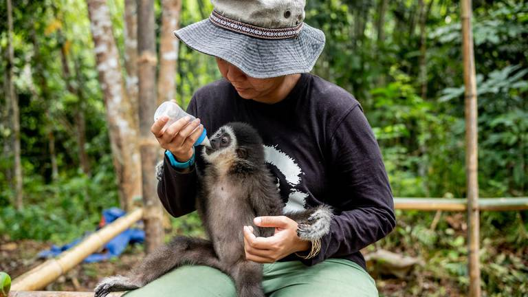 An image that illustrates this article Meet the woman who's on a mission to save Malaysia's gibbons
