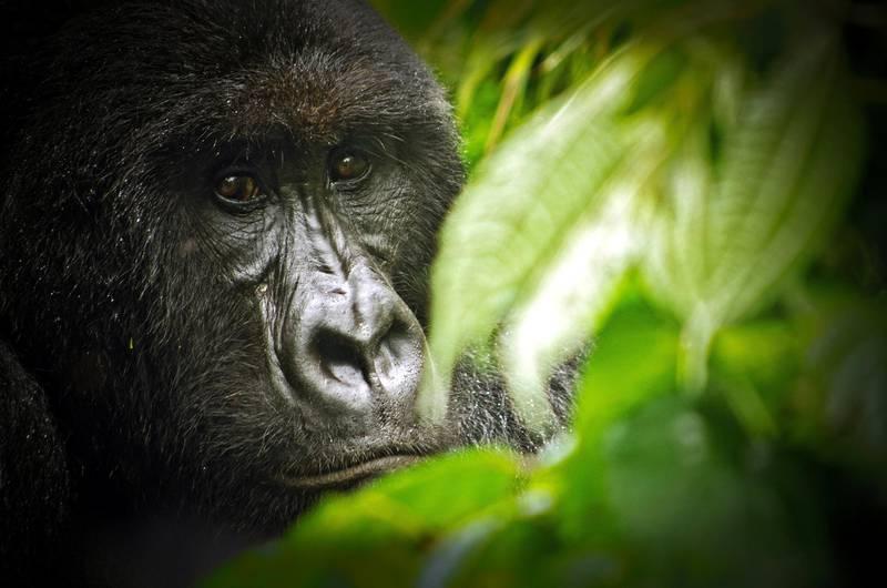 """A mountain gorilla from the Kabirizi family at Virunga National Park sits quietly in some bushes on April 7, 2011 waiting for the rain to stop. Virunga National Park is the oldest national park in Africa and a World Heritage Site. It is is home to more than a quarter of the world's remaining 790 critically endangered mountain gorillas. Seven of the eight volcanoes in the Virunga range lie within the park, including Nyiragongo, one of the most beautiful and active volcanoes in the world. To the north stand the snow-capped majestic Rwenzori Mountains, over 5000 meters high.     AFP PHOTO / VIRUNGA NATIONAL PARK / LuAnne Cadd  RESTRICTED TO EDITORIAL USE - MANDATORY CREDIT """"AFP PHOTO / VIRUNGA NATIONAL PARK / LuAnne Cadd"""" - NO MARKETING NO ADVERTISING CAMPAIGNS - DISTRIBUTED AS A SERVICE TO CLIENTS (Photo by LuAnne Cadd / Virunga National Park / AFP)"""