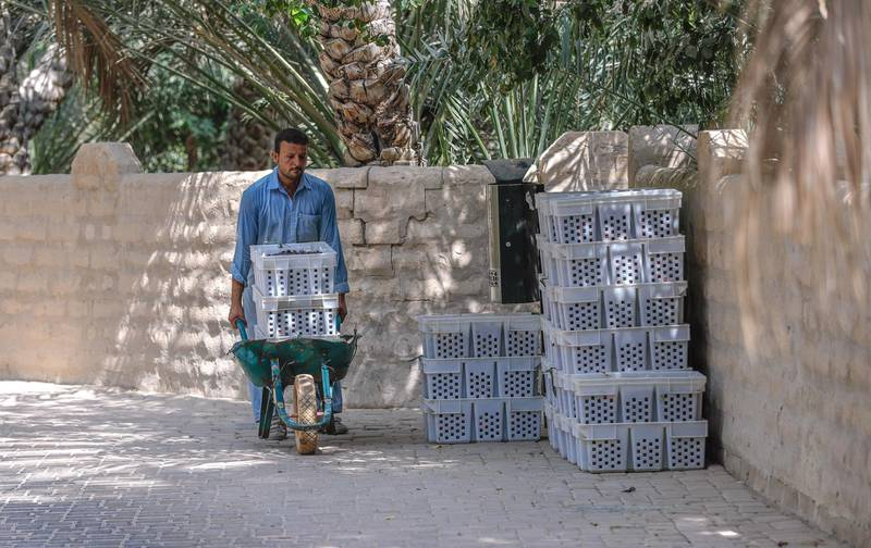 Al Ain, United Arab Emirates, October 7, 2019.  Weekend – photo essay Discovering agricultural practices at Al Ain Oasis: there's a new programme that introduces visitors to the UAE's plant species, crops and agriculture professions running throughout October and November.-- Dates are harvested and transported by the wheelbarrow to a sorting area.Victor Besa / The NationalSection:  WKReporter:  Katy Gillett