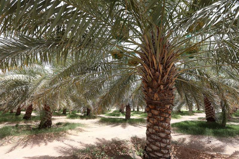 AL AIN , UNITED ARAB EMIRATES : July 18 , 2013 :- View of the date palm tree at Al Dahra farm in Al Ain. ( Pawan Singh / The National ) . For Business. Story by Tom Arnold *** Local Caption ***  PS1807- DAHRA FARM20.jpg