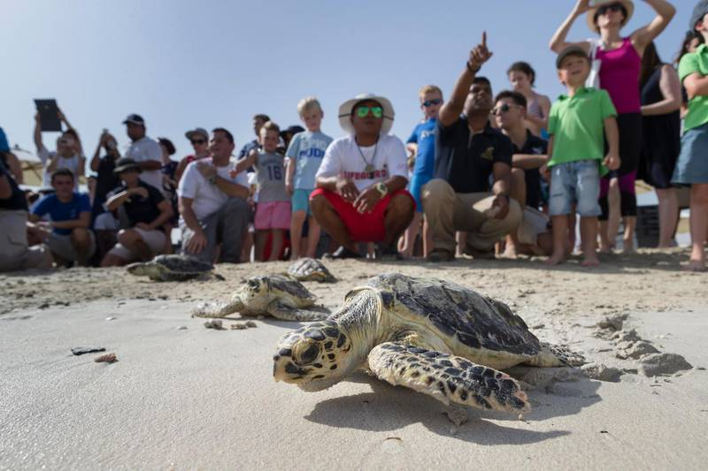 DUBAI, UNITED ARAB EMIRATES, 16 JUNE 2016. Hawksbill turtles make their way to the water after being released to mark World Sea Turtle Day on the beach of the Jumeirah Beach Hotel. Before their release the turtles were rehabilitated by the Dubai Turtle Rehabilitation Project (DTRP) which is based at the Burj Al Arab and Madinat Jumeirah hotels and is run in collaboration with Dubai's Wildlife Protection Office. (Photo: Antonie Robertson/The National) ID: 91762. Journalist: Dana Moukhallati. Section: National. *** Local Caption ***  AR_1606_Turtle_Release-08.JPG