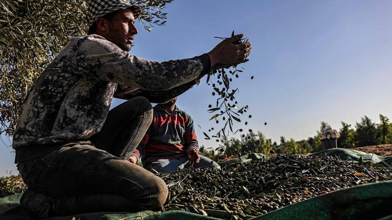 An image that illustrates this article Palestinians harvest olives in refugee camp - in pictures