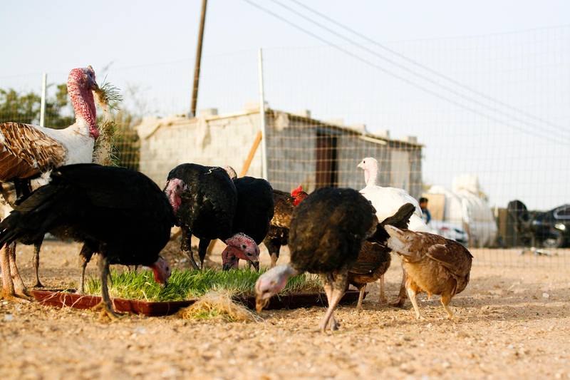 Al Khatem, Abu Dhabi, UAE, April 22, 2015:Yas Farm, according to its owners, is the UAE's sole organic farm. It is still young but the company already has 4 properties spread out across the UAE. It is owned by Mohammed Salama and Tariq Shaheen. Guniea Fowl, Chickens, and other birds eat some barley. Lee Hoagland/The National *** Local Caption ***  LH0422_YAS_FARM_0016.JPG