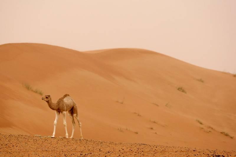 AL AIN, UNITED ARAB EMIRATES - February 12, 2009: A young camel at a farm property in Al Ain.(Ryan Carter / The National)Stock *** Local Caption ***  RC007-StockFarm.JPGRC007-StockFarm.JPG