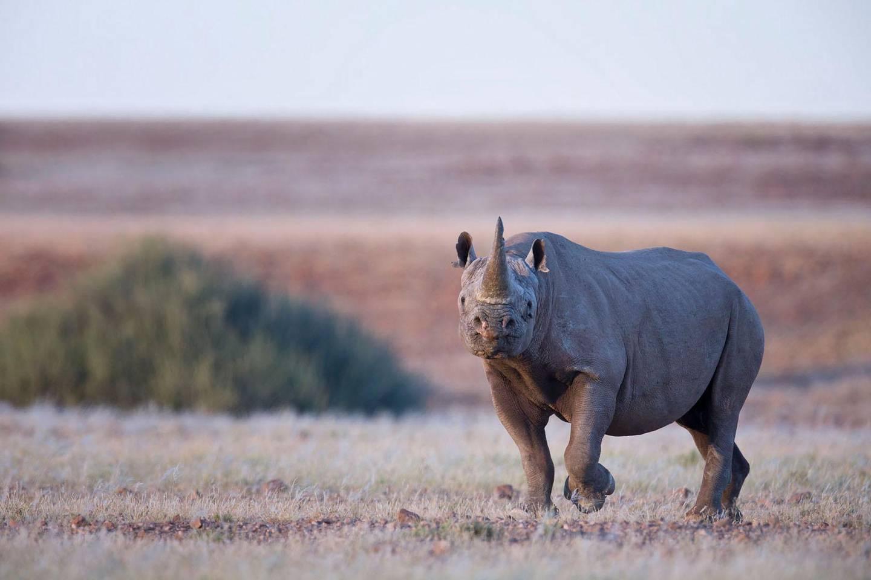 A rhino at Desert Rhino camp. Courtesy Wilderness Safaris