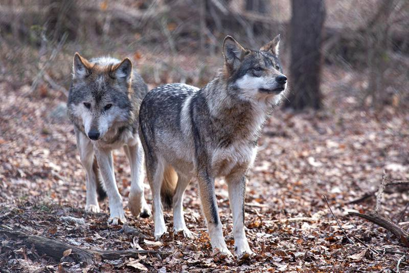 Two Mexican wolves named Valentia and Diego walk inside a cage at a Wolf Conservation Center on December 6, 2020 in South Salem, New York. - They thrive at teamwork, fight for their homes, and cherish their families above all else. It's sometimes said there is no animal on Earth more similar to humans in their social behavior than wolves. But the iconic species -- long a symbol of the free spirit of the American wilderness -- could soon be imperilled because of the Trump administration's decision to rescind protections that brought them back from the brink of extinction. (Photo by Kena Betancur / AFP)