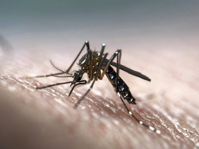 Disease vector mosquito known for dengue, yellow fever and zika virus