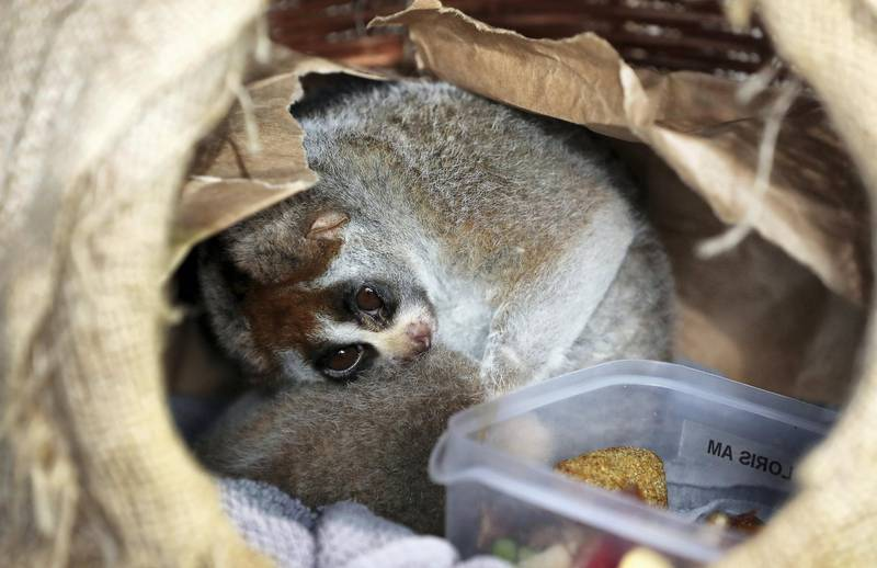 DUBAI , UNITED ARAB EMIRATES , March 28 – 2019 :- Slow Loris inside his place at The Green Planet by Meraas in City Walk in Dubai. He sleeps during the day time. ( Pawan Singh / The National ) For News/Instagram/Big Picture. Story by Gill