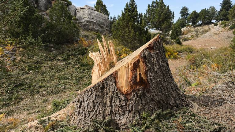 An image that illustrates this article 'We are losing a national treasure': Lebanese cut ancient trees for heating