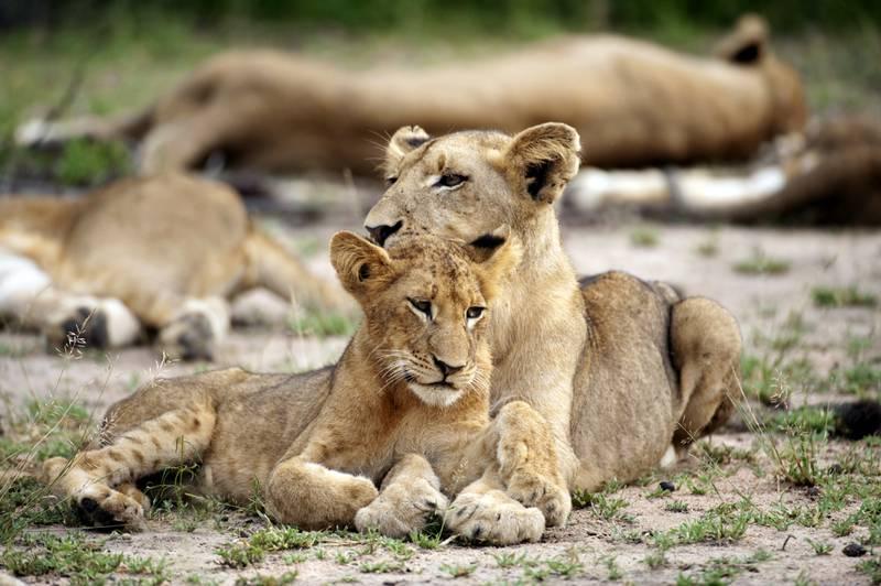 Lion cubs (Panthero leo), Sabi Sands Game Reserve, Mpumalanga, South Africa, Greater Kruger National Park. Ariadne Van Zandbergen /  Lonely Planet Images